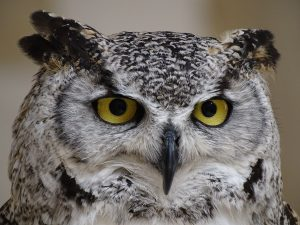 Read more about the article Trump Administration Slashes Spotted Owls' Habitat